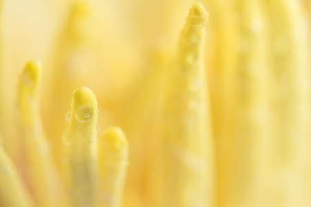 Water drops on yellow lotus pollen