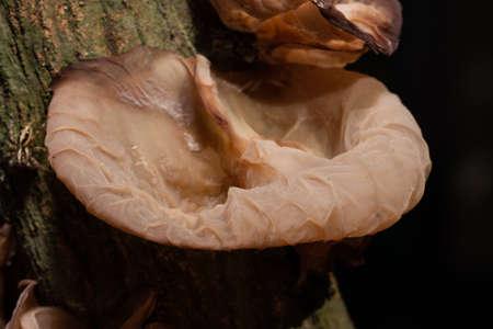 Natural Jews Ear Mushroom Imagens