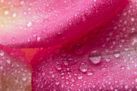 Background macro water droplets on the petals of pink roses