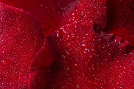 Makrohintergrund von Wassertropfen auf roten Rosenblättern.