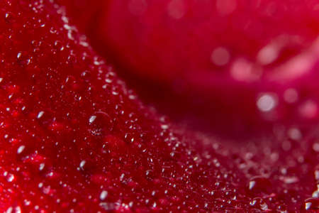 Macro background of water drops on red rose petals.