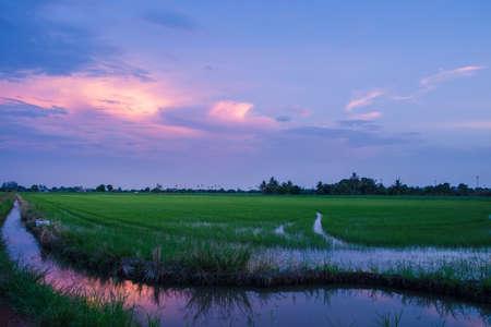 Evening sun in the rice field Фото со стока