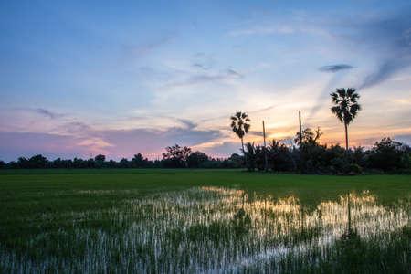 Evening sun in the rice field 版權商用圖片