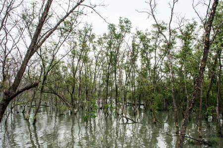 Dead mangrove trees die Stok Fotoğraf