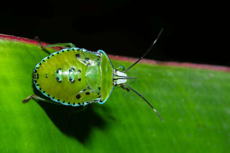 Macro Stink Bug on leaf