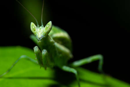 Green Mantis Macro