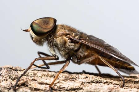 Macro insect Tabanus sulcifrons