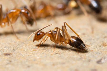 Macro Ghost Ant Imagens