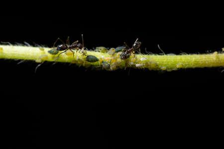 Macro aphids with ants Stock Photo