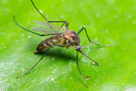 Macro Mosquito in Nature Stock Photo