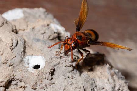 Ceriana wasp macro is nesting