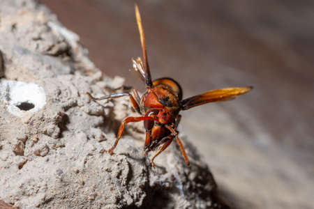 Ceriana wasp macro is nesting