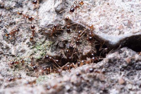 Macro ants Pheidole jeton driversus