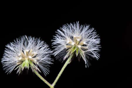 Dianthus flower macro