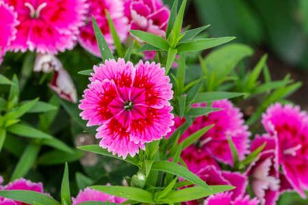 Dianthus flower in the garden Stockfoto