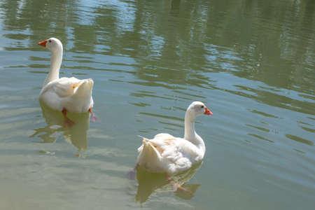 Goose in the pool Reklamní fotografie - 121906021