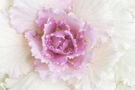 Longlived Cabbage Vegetable Background Macro Imagens