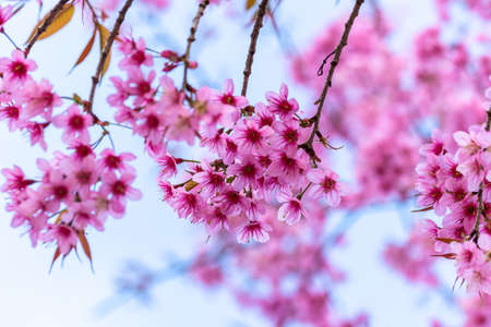 Macro Flower Prunus cerasoides Stock Photo