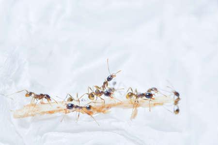 Macro prong ant Фото со стока - 122026217
