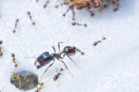 Macro prong ant