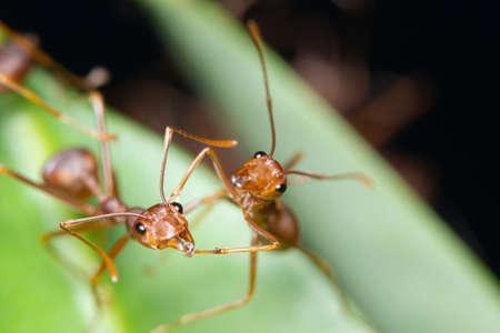 Makro czerwona mrówka na liściach