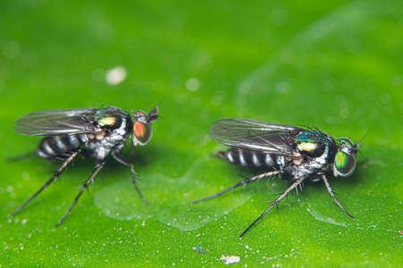 Macro flies on green leaves