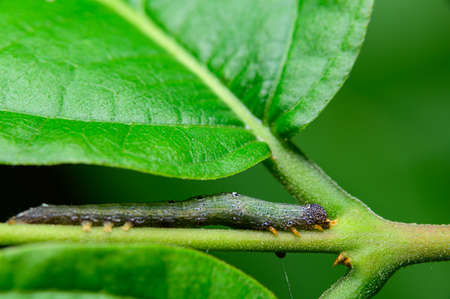 Caterpillar pests on the leaves
