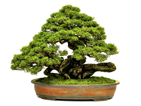 bonsai: Bonsai in pot,Potted bonsai tree,Small tree in pot isolated on white background