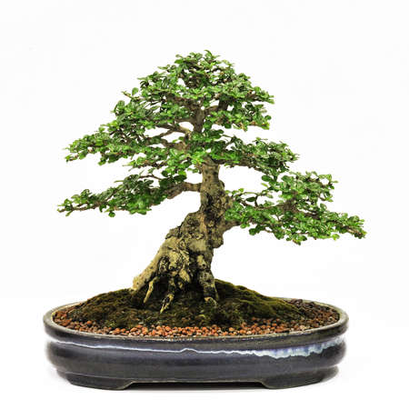 bonsai en pot, bonsaï pot, petit arbre en pot isolé sur fond blanc