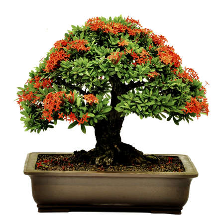 bonnie: Bonsai in pot,Potted bonsai tree,Small tree in pot isolated on white background  Stock Photo