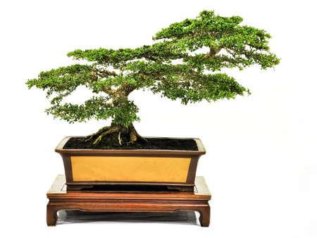 bonsaï sur la table, bonsaï pot, petit arbre en pot isolé sur fond