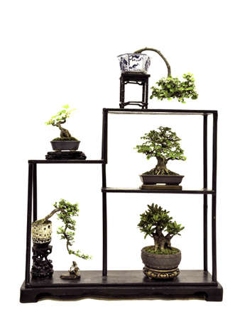 bonsai tree: Bonsai Tree on table,Potted bonsai tree,Small tree in pot isolated on white background
