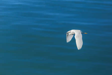 egrets: Great Egret flying over the sea