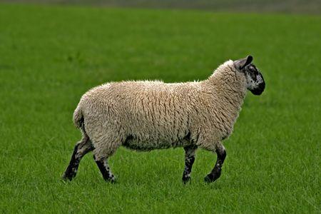 Backfaced Scottish Sheep photo