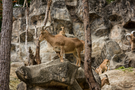 mountain goats: mountain goats looking at camera