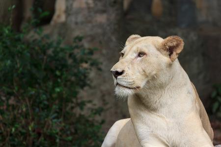 albino: head of albino female lion Stock Photo