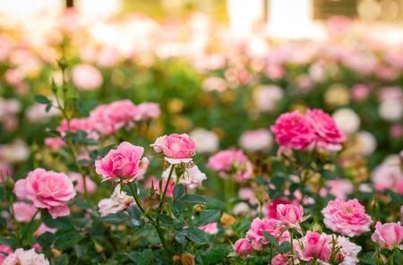 Fiori rosa rosa rosa nel giardino Archivio Fotografico - 59881816