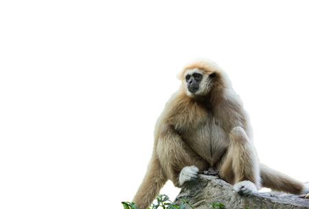 biped: isolated white-hand gibbon Stock Photo