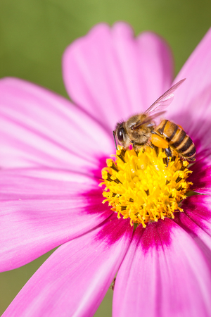 cosmos flower: bee on pink cosmos flower Stock Photo