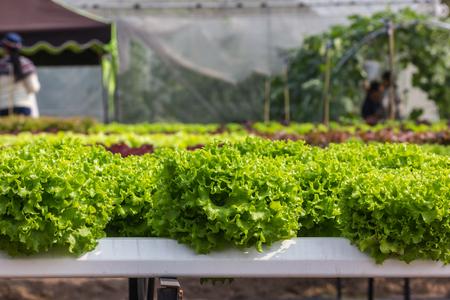 hydroponic: hydroponic plants, salad Stock Photo