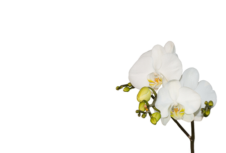 white orchids: white orchids islated on white background