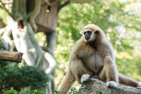 biped: white-hand gibbon sit on the rock Stock Photo