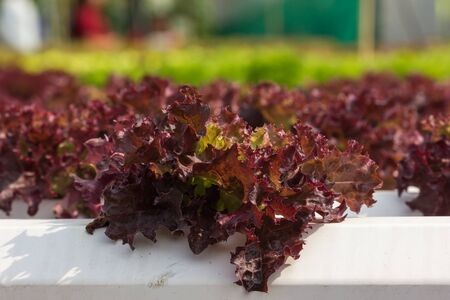 hydroponic: hydroponic plants, red salad plant