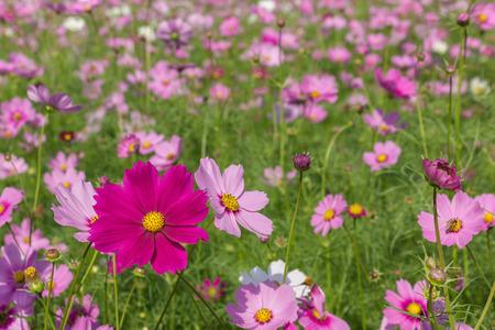 cosmos flower: cosmos flower in the garden Stock Photo