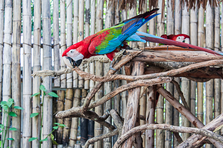 parot: red macaw on branch wood