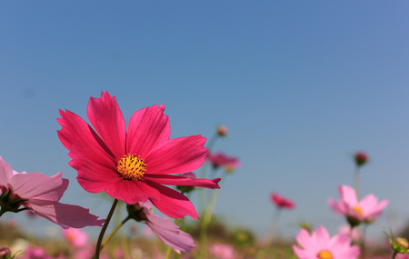 cosmos flower: pink cosmos flower on sky background