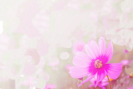 cosmos flower: like paint flower background, cosmos flower Stock Photo