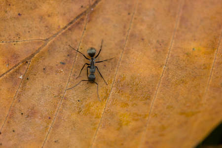 hormiga hoja: hormiga negro en la hoja