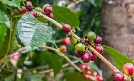 arbol de cafe: semillas de café en la planta de café