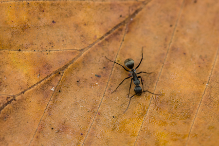 hormiga hoja: hormiga negro en la hoja seca
